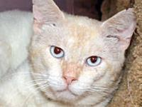 Siamese - Bailey - Large - Adult - Female - Cat ***This