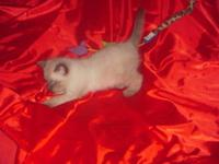 Siamese Balinese kittens, 8 weeks day after Easter . 1
