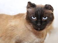 Siamese - Bandit - Medium - Adult - Male - Cat When I