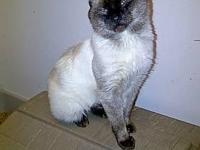 Siamese - Blue I's - Large - Adult - Male - Cat I am 3