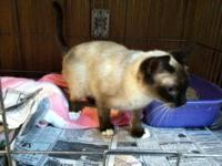 Siamese - Blue - Small - Adult - Female - Cat Each pet