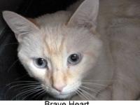 Siamese - Brave Heart 11804 - Medium - Young - Male -