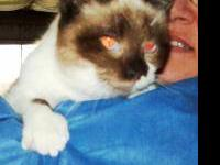 Siamese - Buttercup - Medium - Senior - Female - Cat