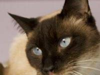 Siamese - Buttons - Medium - Baby - Female - Cat All