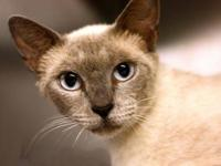 Siamese - Cassandra - Medium - Young - Female - Cat