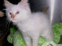 Siamese - Cayenne - Small - Baby - Male - Cat kitten