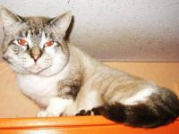 Siamese - Chocho - Medium - Adult - Male - Cat Dont let