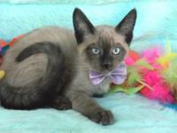 I HAVE THREE CHOCOLATE POINT SIAMESE KITTENS 2 FEMALES