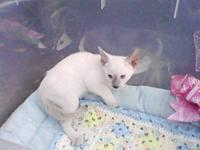 We have one male and one female lilac point Siamese