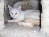 Siamese - Darby - Medium - Adult - Male - Cat