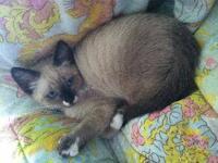 Siamese - Denali - Medium - Baby - Female - Cat Denali