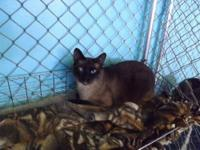 Siamese - Eddy - Medium - Adult - Male - Cat DOB: