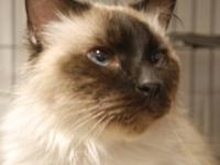 Siamese - Ellery - Medium - Adult - Male - Cat Born