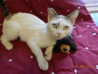Siamese - Ellie - Medium - Young - Female - Cat Ellie