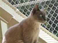 Siamese - Emi - Medium - Adult - Female - Cat Emi is a