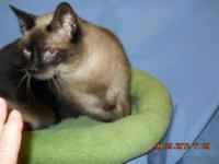 Siamese - Emma - Large - Adult - Female - Cat Emma is a