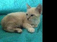 Siamese - Fairbanks - Medium - Baby - Male - Cat