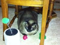 Free 4 year old doll face Siamese female cat. Current