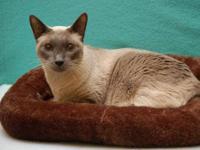 Siamese - Feral Siamese - Medium - Young - Female -