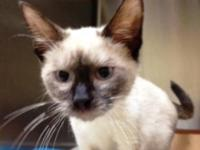 Siamese - Fergus - Large - Adult - Male - Cat Handsome