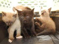 Siamese - Five Little Kittens - Medium - Baby - Female