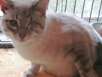 Siamese - Fluffy - Small - Adult - Female - Cat