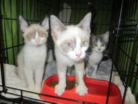 Siamese - Gem - Small - Baby - Male - Cat These two