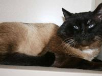 Siamese - Gilbert - Large - Adult - Male - Cat All cats