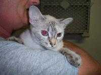 Siamese - Hannah - Medium - Adult - Female - Cat Hannah
