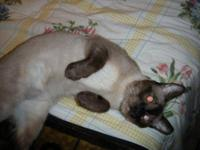 Siamese - Harley - Small - Adult - Male - Cat NAME: