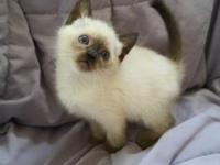 75% siamese 25% Himalayan. Will come with first set of