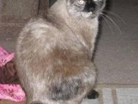 Siamese - Isabel - Medium - Adult - Female - Cat My