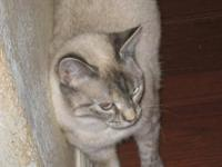 Siamese - Isis - Medium - Young - Female - Cat Isis is