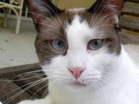 Siamese - Jeffrey - Medium - Adult - Male - Cat I am