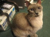 Siamese - Juliet - Small - Young - Female - Cat Juliet