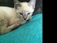 Siamese - Juneau - Medium - Baby - Female - Cat Juneau