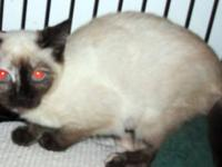 Siamese - K.c. - Medium - Baby - Male - Cat loves