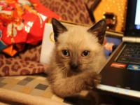 I have 1 seal point Siamese kitten available that is 8