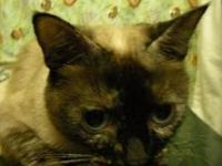 Siamese - Kitten Paw - Medium - Adult - Female - Cat
