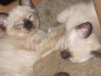 6 Siamese Snow-Shoe kittens - 13 weeks old now 9/27/15