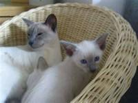 2female blue point siamese kittens 7weeksold Nopapers