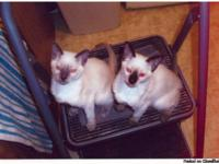 Two purebred, ACFA registered, Siamese kittens are