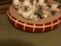 I have 3 beautiful Siamese Kittens. 1 Chocolate Point