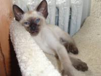 CFA registered Siamese kittens 2 seal point males.
