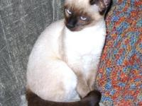 SIAMESE CLASSIC PUREBRED KITTENS AVAILABLE. Registered