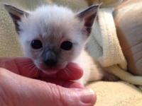 I have a gorgeous litter of 3 female Siamese kittens.