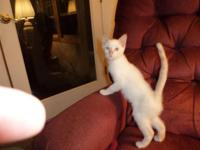 "SIAMESE KITTENS: ONE VERY RARE RED POINT MALE ""RED"""