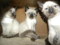 Pure Bred Siamese Seal Point kittens 1 female 2 males