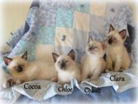 Siamese Kittens: come to you with first shots, de-flea