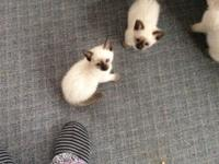 siamese kittens eight weeks old registered American Cat